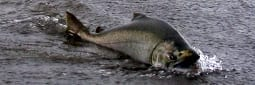 Endangered Salmon