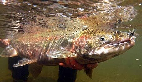 California steelhead
