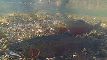 Santa ynez river restoration california trout inc steelhead2 freerunsca Gallery