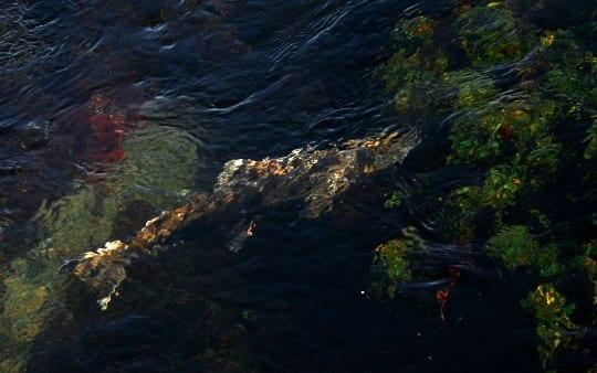 A Shasta River salmon