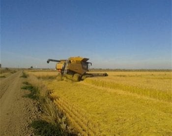 November 2012, rice harvest on experimental salmon habitat in Yolo Bypass