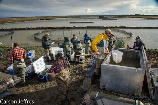Yolo Bypass salmon study