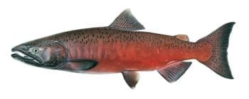 Chinook-salmon-male