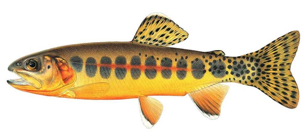 Golden trout california trout inc for Golden trout fishing