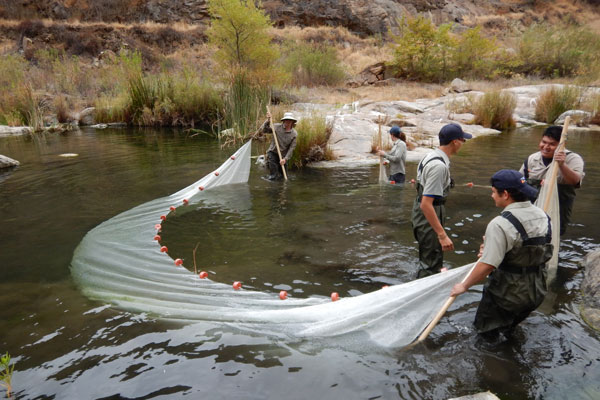 Conservation Corps of Orange County and CDFW pull a 25-foot seine through the river to remove non-native aquatic species
